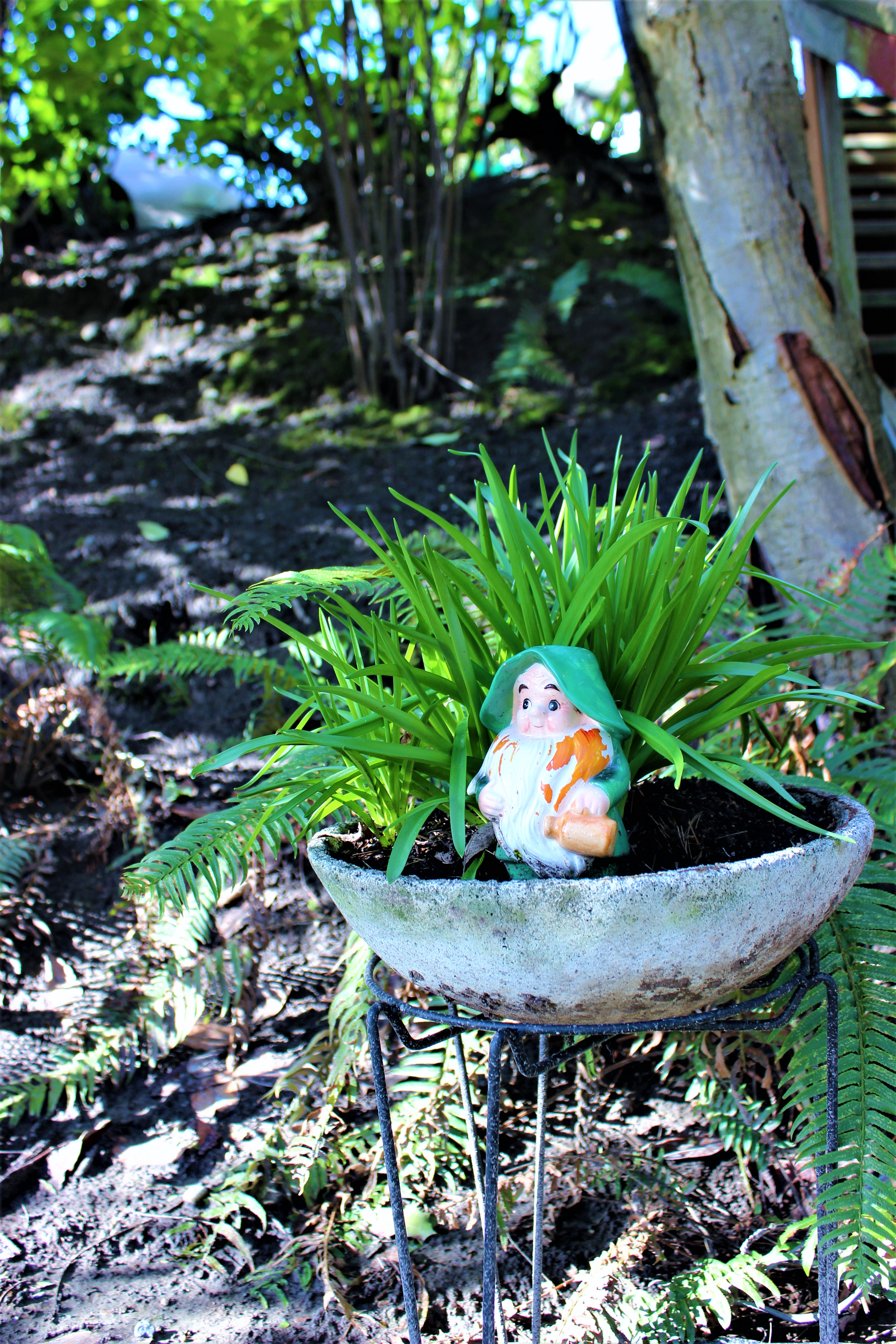 Mr. Pipps, the wee gnome, and the concrete planter were both partially buried in an overgrown garden (at an estate sale). When I expressed an interest, they just told me to dig it out and take it. So I did, flowers and all.